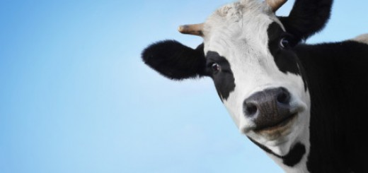 CowHappy